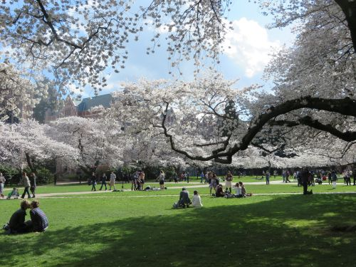 Photos, picnics, parties and kissing under the University of Washington Cherry Blossom