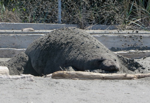 Locals say this elephant seal pup has arrived at Mutiny Bay each spring for the last 5 years. It cools itself by flicking sand over its body.